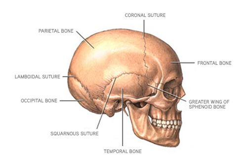 Mnemonics For Anatomy Bones Flashcards Quizlet Nursing Things