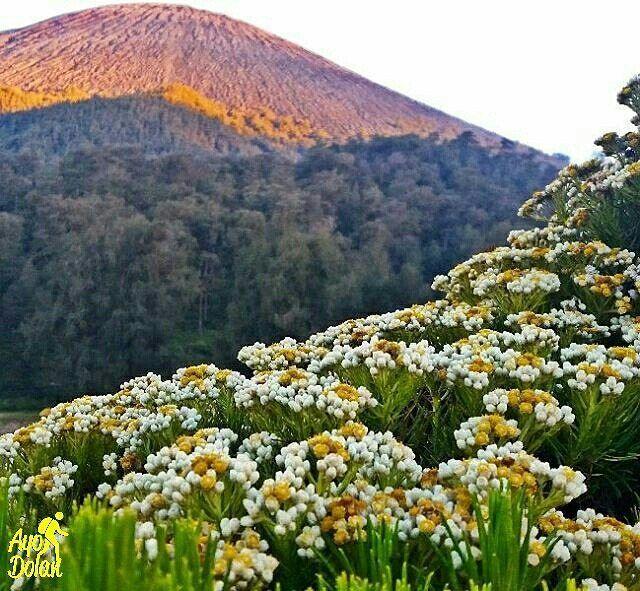 Ayodolaninfo Bunga Edelweis Kalimati Gunung Semeru Siapa