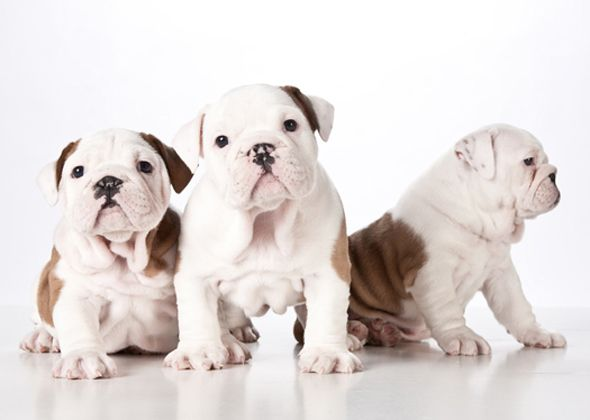 Bulldogs Are On This List From Training To Food Allergies To