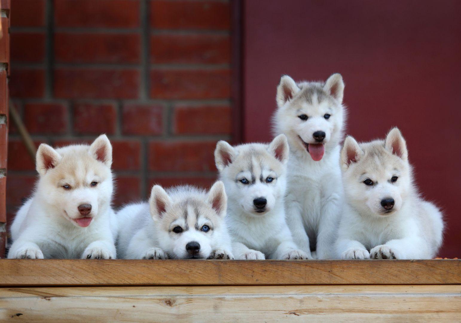 Adorable Husky Puppy Siblings Husky Cute Husky