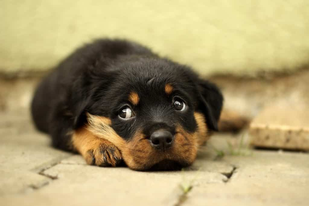 How Do Dogs Get Parvo All You Need To Know Rottweiler Puppies