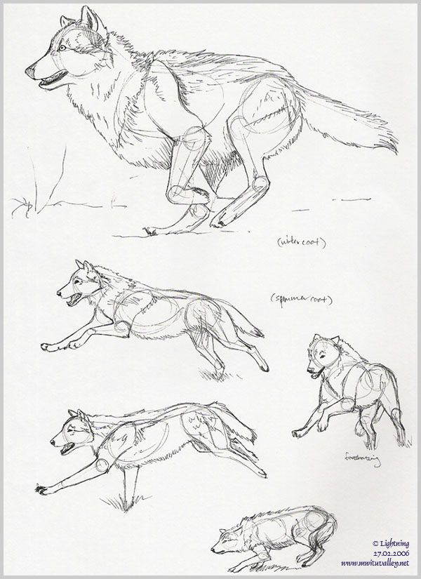 wolf drawing step by step - Google-søgning | Anatomía Animal y refs ...