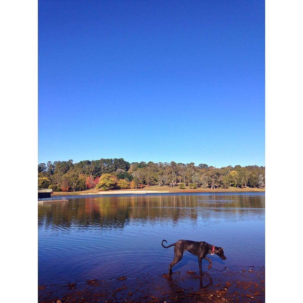 Mud dog no filter #nofilter #iPhone #iphoneography #iphonephotography #photography #orange #nsw #australia #explore #tourist #travel #adventure #lake #water #landscape #landscapephotography #greatdane #dog #autumn #greatdanesunleashed #greatdanesofinstagram by emmaart