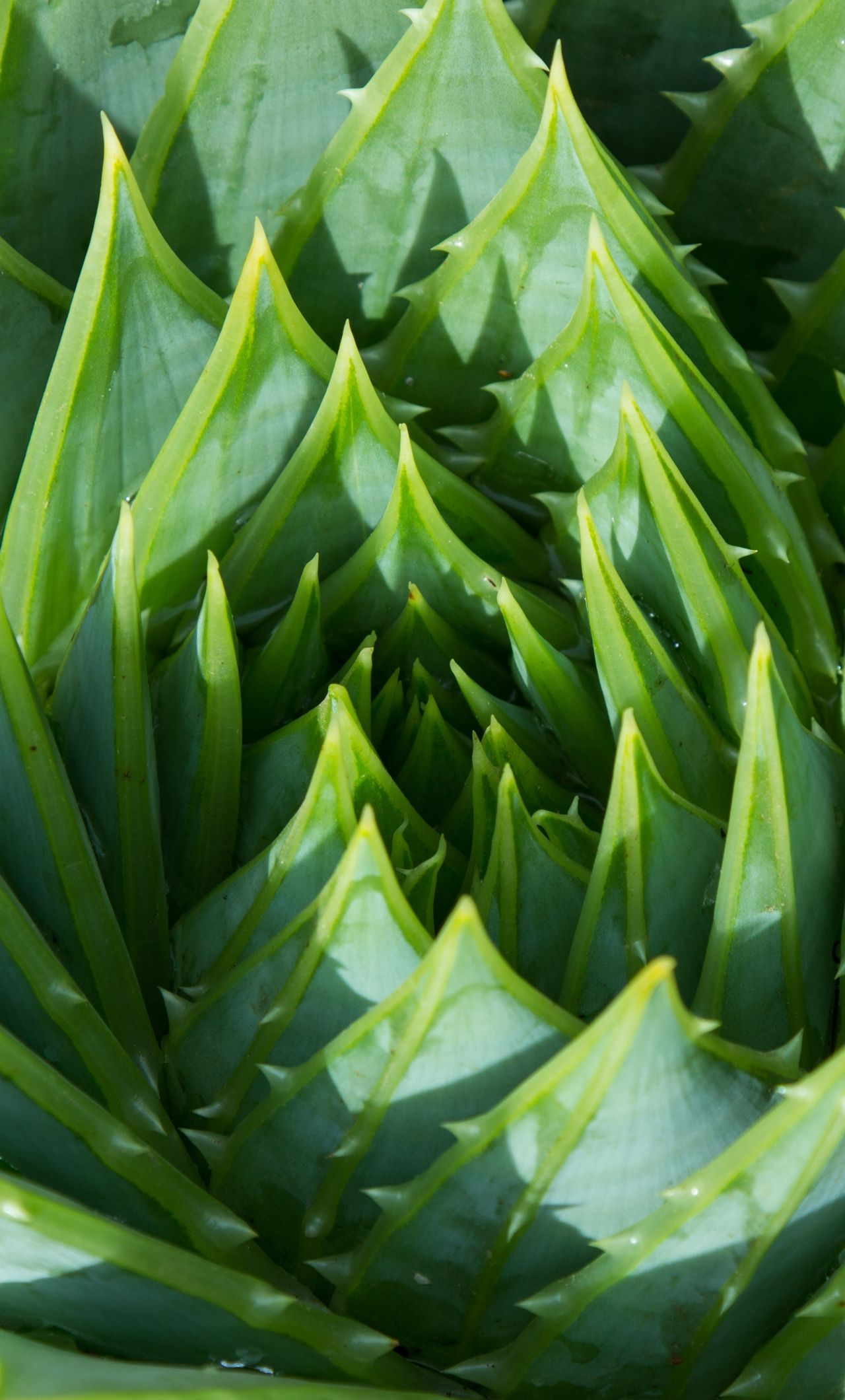 Aloe Vera, plant, green, close up, 1280x2120 wallpaper