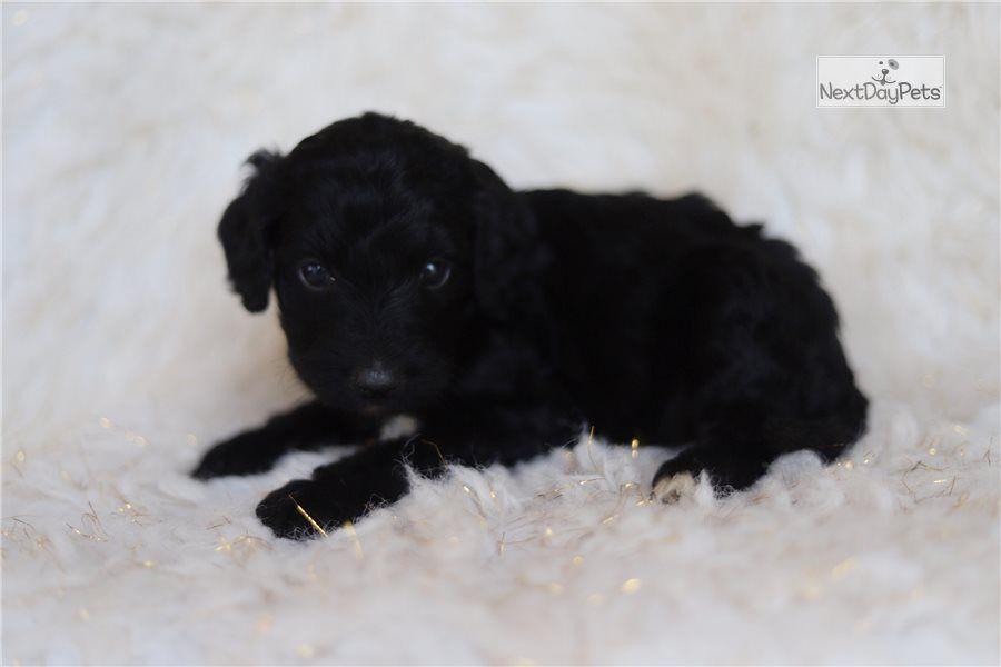 Izzy Female Bernedoodle For Sale In 2020 Bernedoodle Bernedoodle Puppy Puppy List