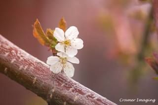 Cherry Blossoms.  Learn more about it and our #IdahoArt at www.cramerimaging.com.