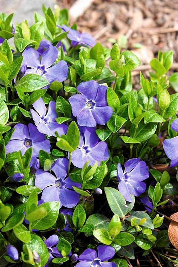Barwinek Zimozielone Liscie Doskonala Roslina Okrywowa Do Cienia Plants Urban Garden Garden