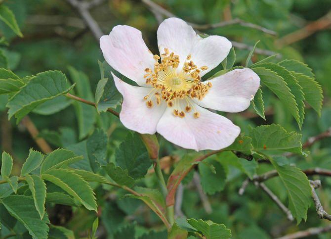 Roser (Rosa spp.)