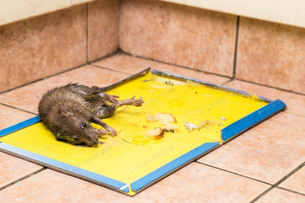 Rat Captured On Disposable Glue Trap Board On Kitchen