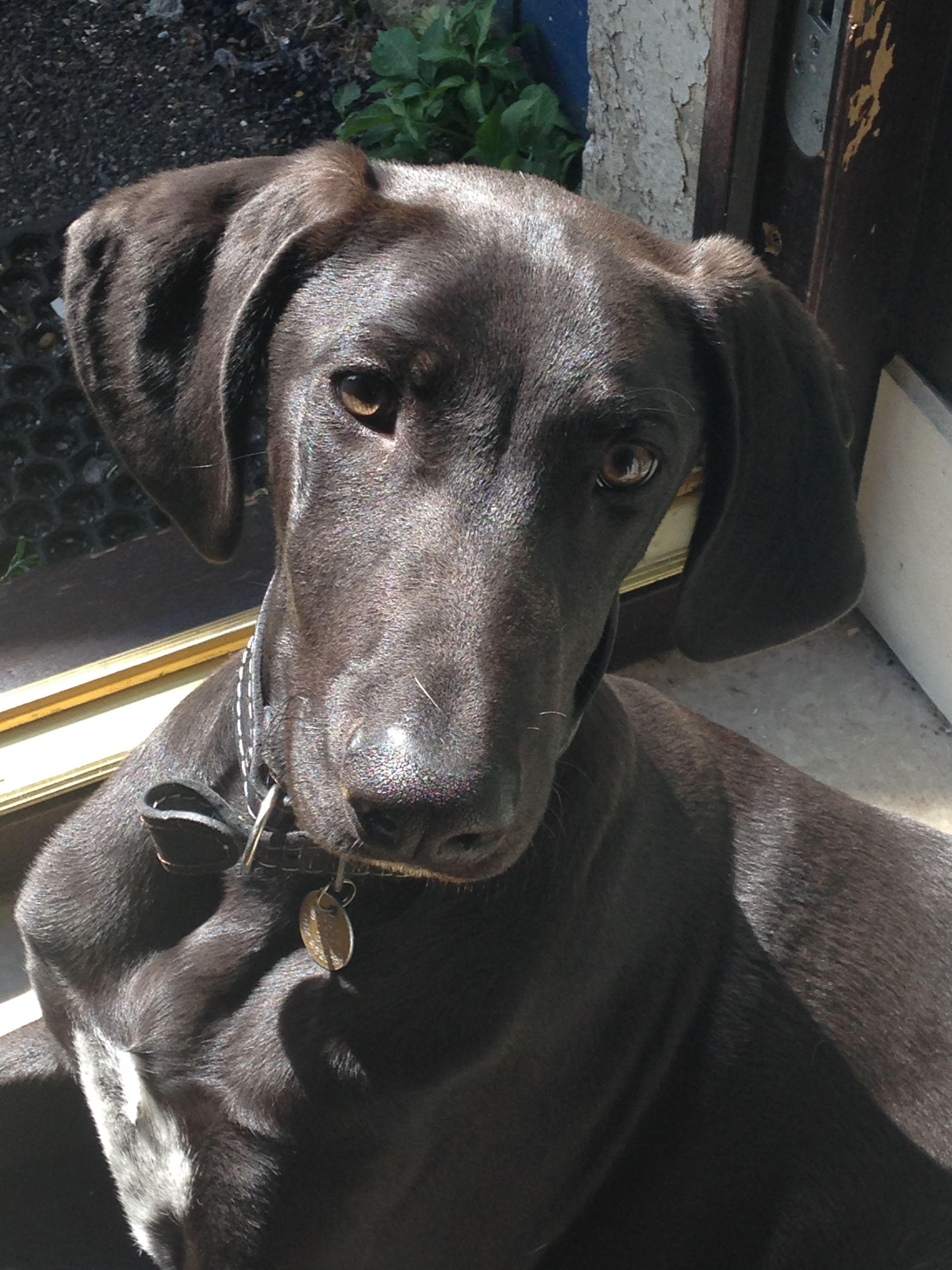 Weimaraner Greyhound Mix