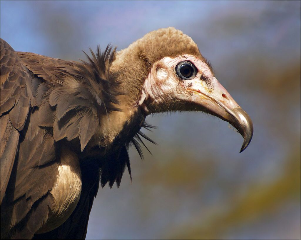 African Hooded Vulture