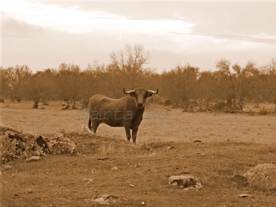 Bonita vaca brava