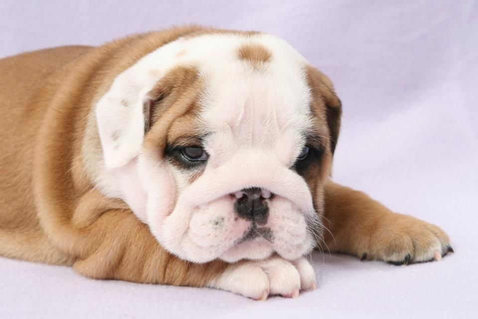 Puppy Bulldog Cute Animals Bulldog Puppies English Bulldog Puppies