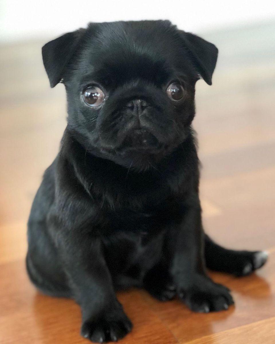 Pug Crazy For Little Pug Beatrix Puglovers