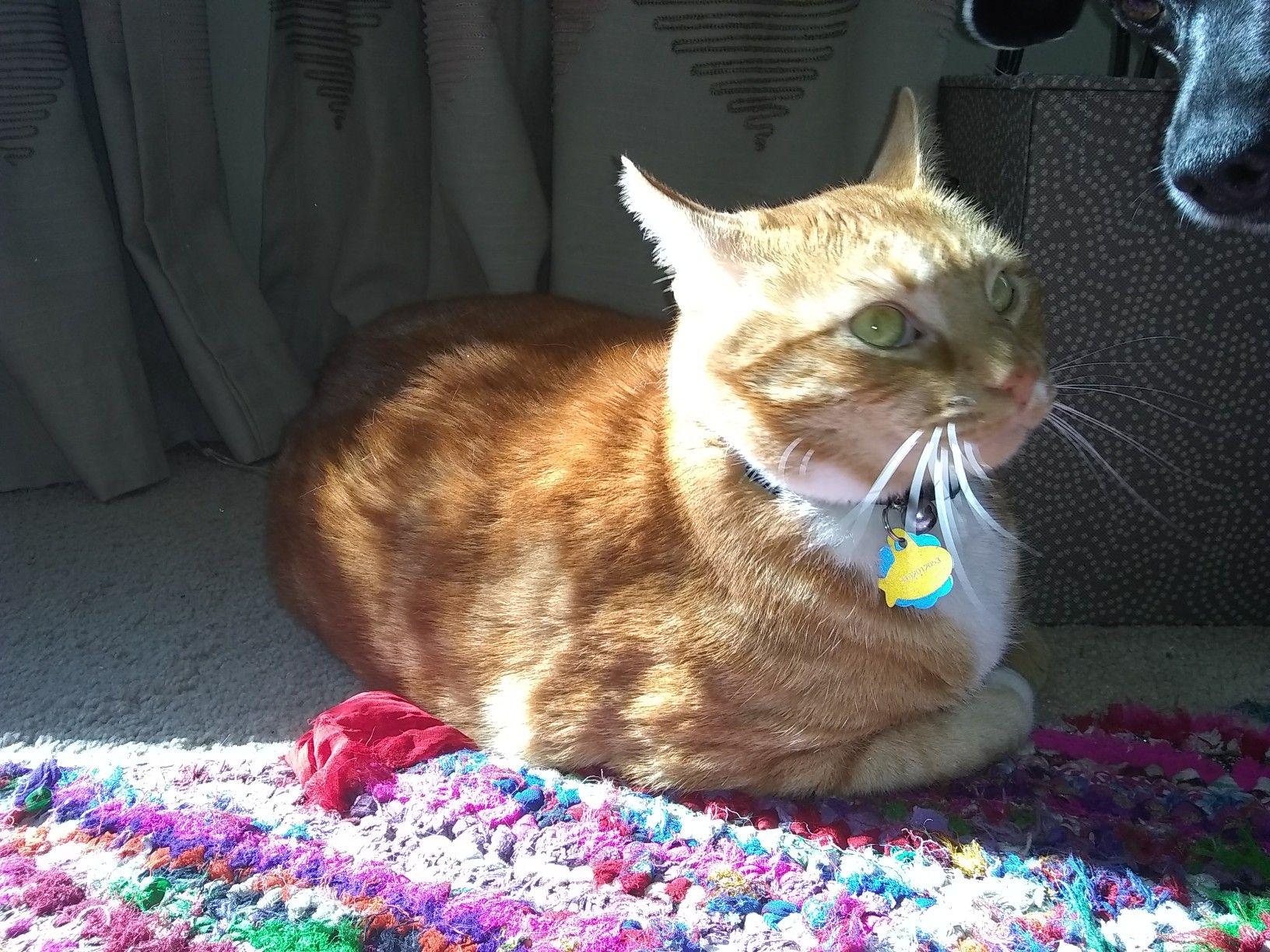 Orange Tabby Cat Orange Tabby Cats Orange Tabby
