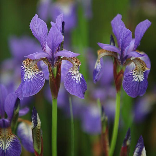 Iris Tropic Night Siberian Iris Syn Iris Sibirica Tropic Night Bulb Flowers Plants Flowers Perennials