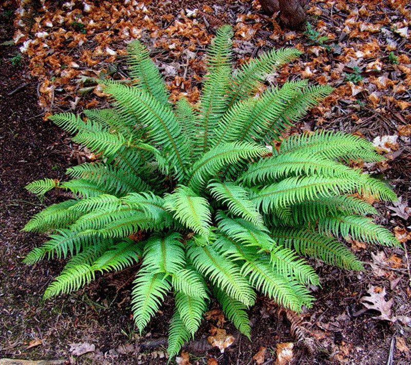 Sword Fern Botanical gardens near me, Plants, Sword fern