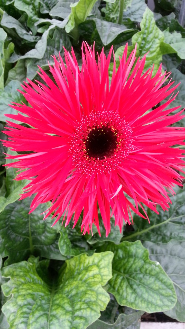 Gerbera Spider Cerise Available At Www Barendsen Nl