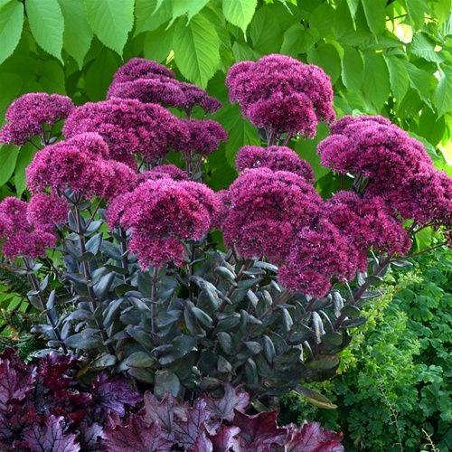 Sedum Thunderhead Plants Sedum Perennial Garden
