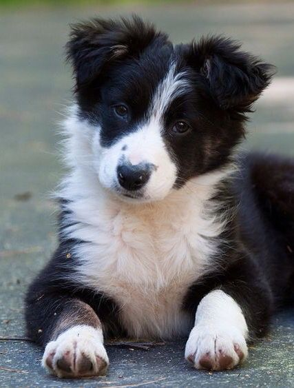 What Does That Mean Collie Puppies Border Collie Puppies Dogs