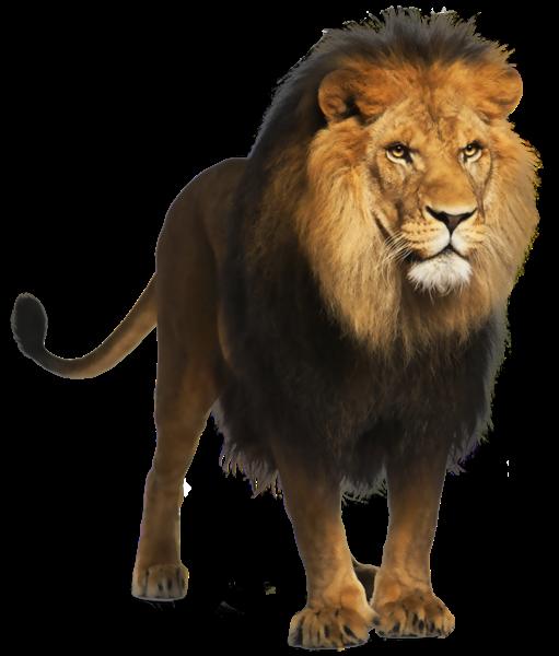 Pin By Fangpengfei On Animals Lion Images Panthera Leo Lion Wallpaper