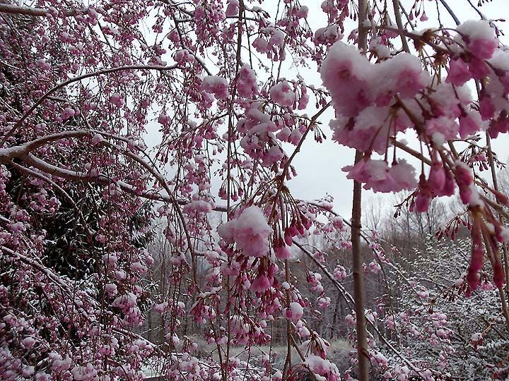 Spring Road Stops Weeping Cherry Tree Spring Pictures Spring Snow