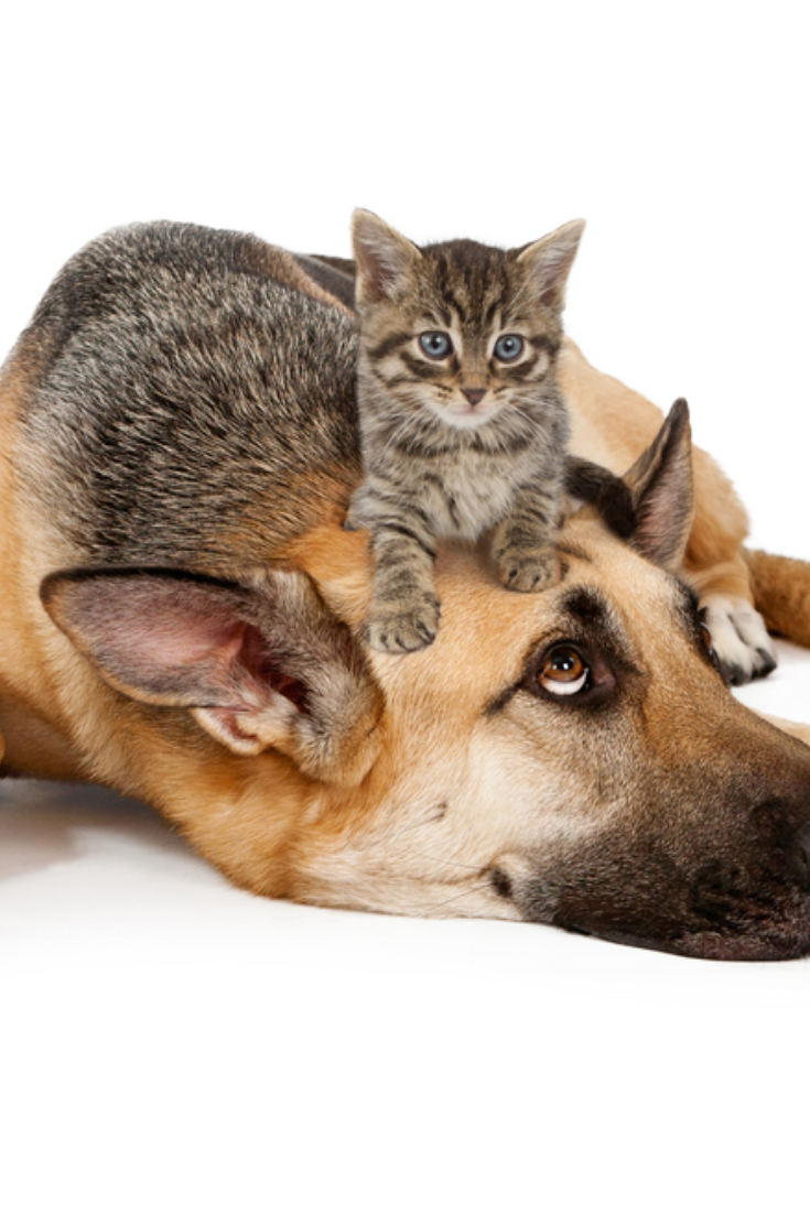 A Cute Small Kitten On The Head Of A Large Patient German Shepherd Dog That Is Laying Down Against A White Backdro German Shepherd Dogs German Shepherd Dog Cat