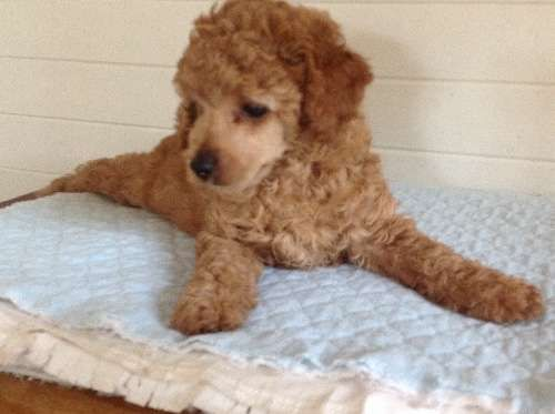 Magnificent Litter Of Red Toy Poodle Puppies Male And Female Pure