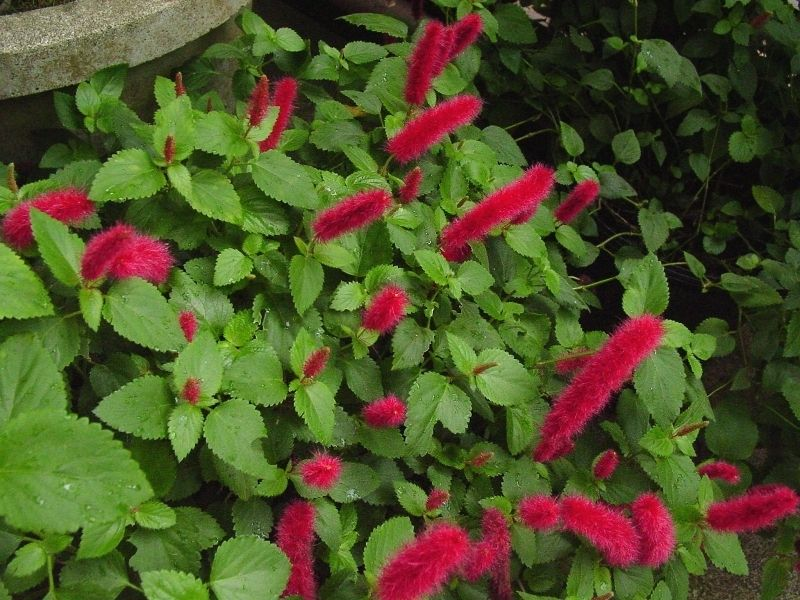 A Dwarf Chenille Firetail Acalypha Pendula Plant With Lots Of New