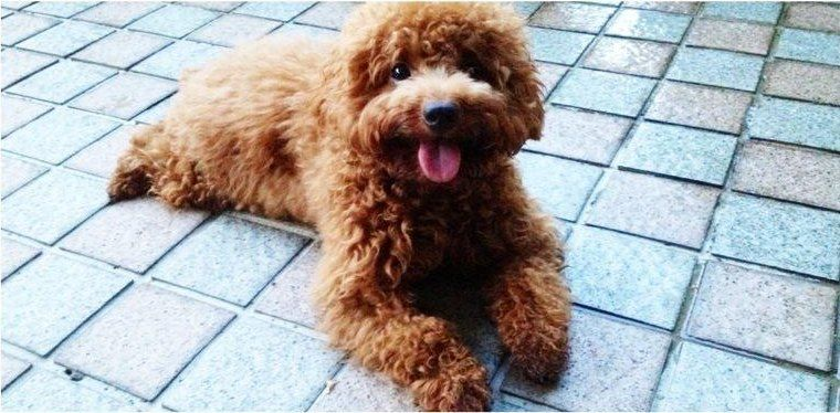 Pin By Missing Pets On Missing Poodles In Singapore Losing
