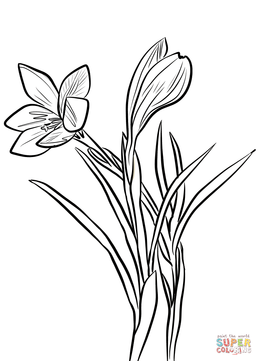 Spring Crocus Coloring Page Free Printable Coloring Pages Flower Line Drawings Drawings Coloring Pages