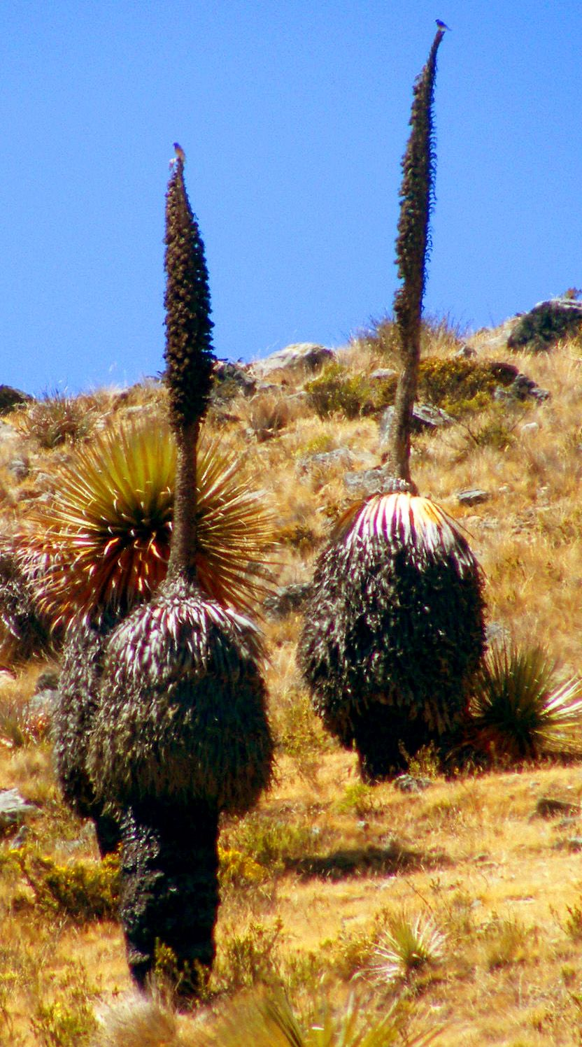 KDS Photo, Puya raimondi dead after flowering, Peru
