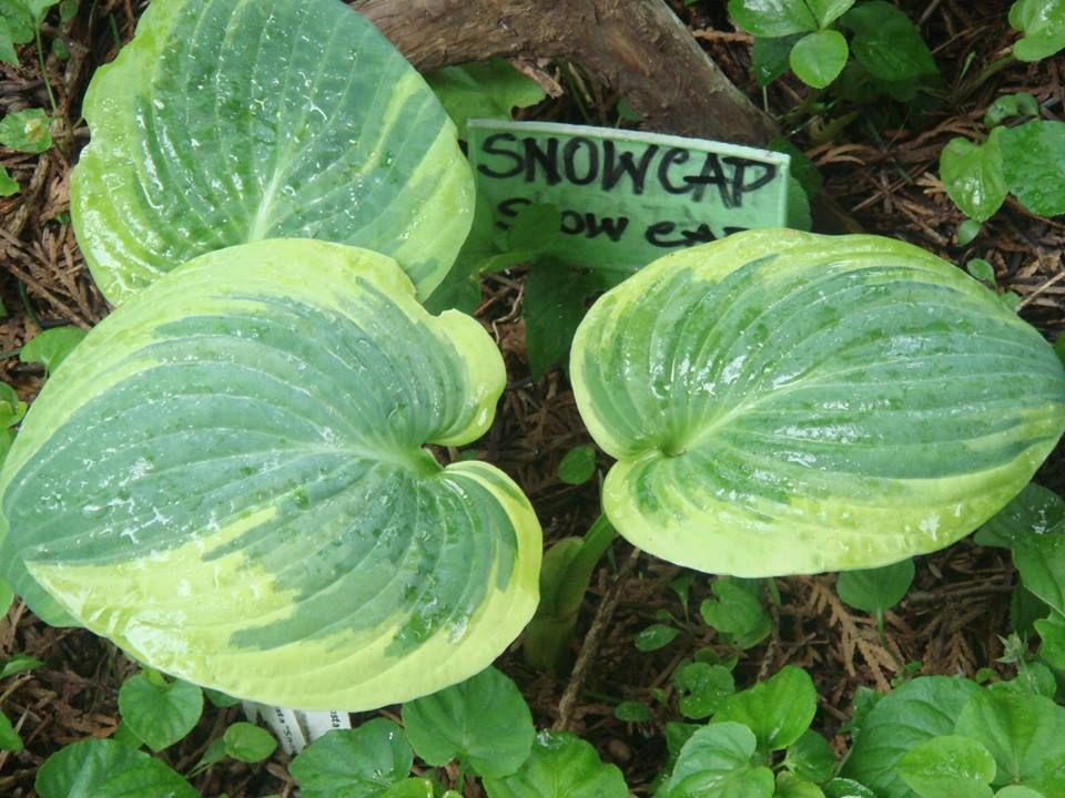 Hosta 'Snow Cap'/spring/2016......foto amateur Barbara Zadros