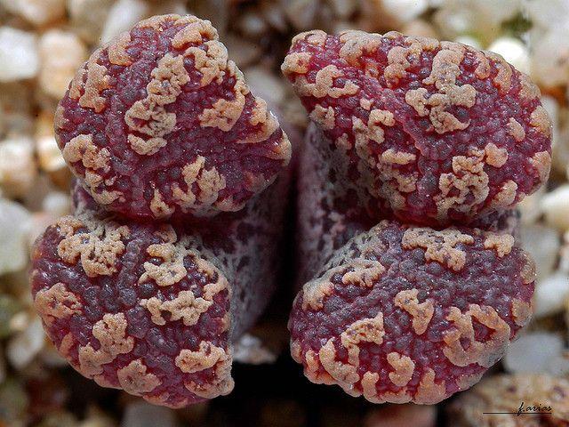 Conophytum pellucidum 8km N Concordia by f.arias, via Flickr