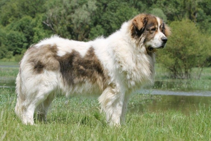 Pyrenean Mastiff Pyrenean mastiff, Mastiff dog breeds