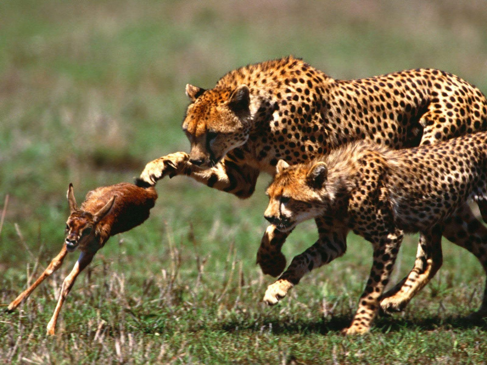 Animal Amazing Wild The Jaguar Full Documentary