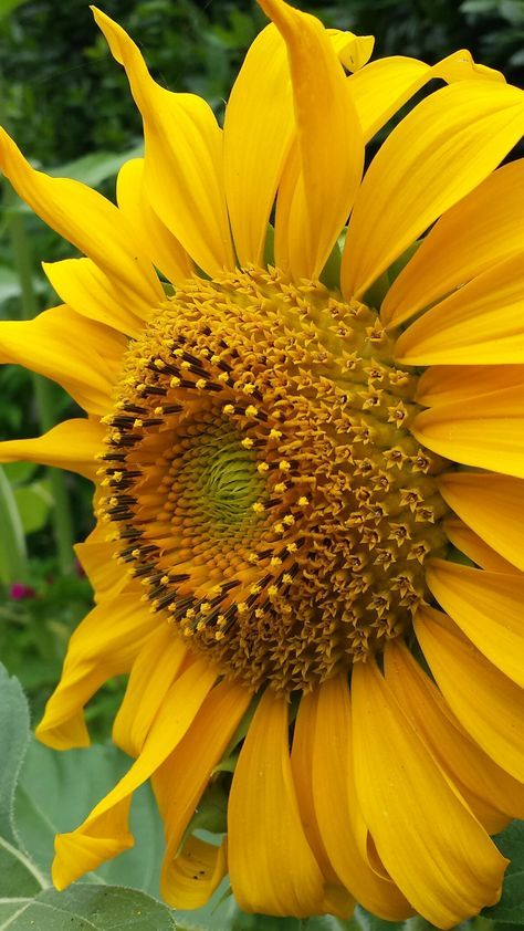 Ponte Di Arcola Sunflowers Pinterest Sunflowers Flowers And