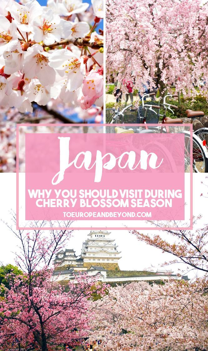 Why You Should Visit Japan During Cherry Blossom Season To Europe And Beyond Cherry Blossom Season Japan Destinations Japan Travel