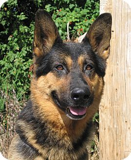 German Shepherd Dog Mix Dog For Adoption In Hobart Indiana 16885