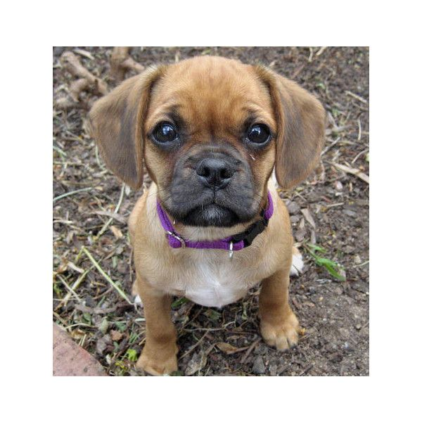 Lilly The Cavalier King Charles Spaniel Pug Mix Puppies