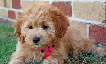 Miniature Poodle And Cocker Spaniel Mix Called A Cockapoo