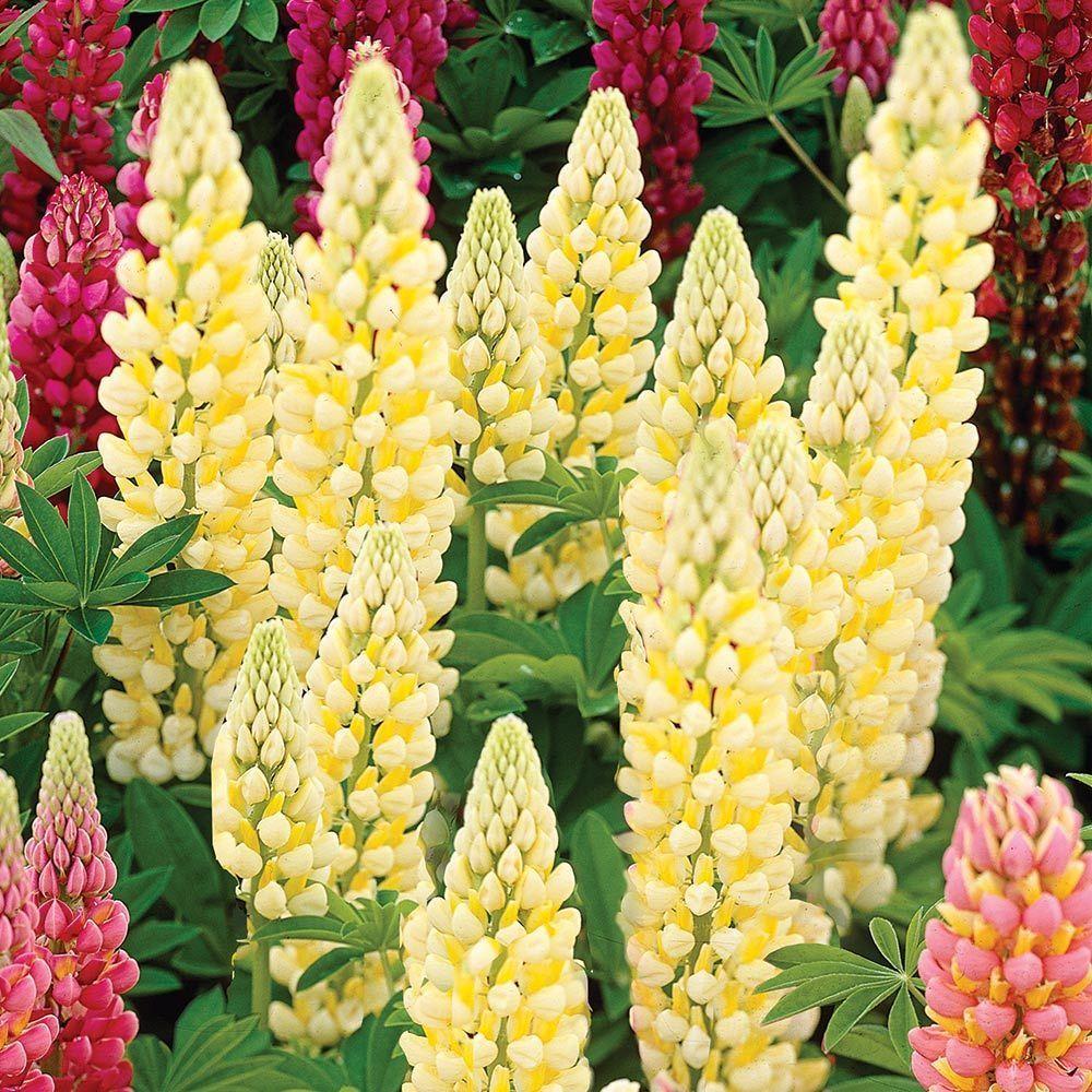 Lupine white flower farm in 2020 white flower farm