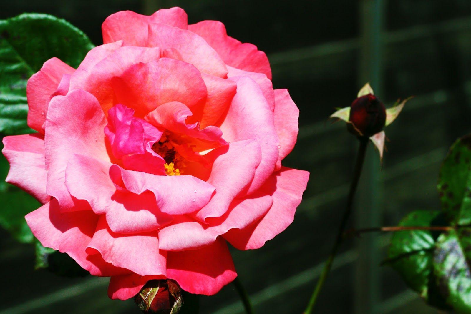 rosa rosa tan maravillosa (8)