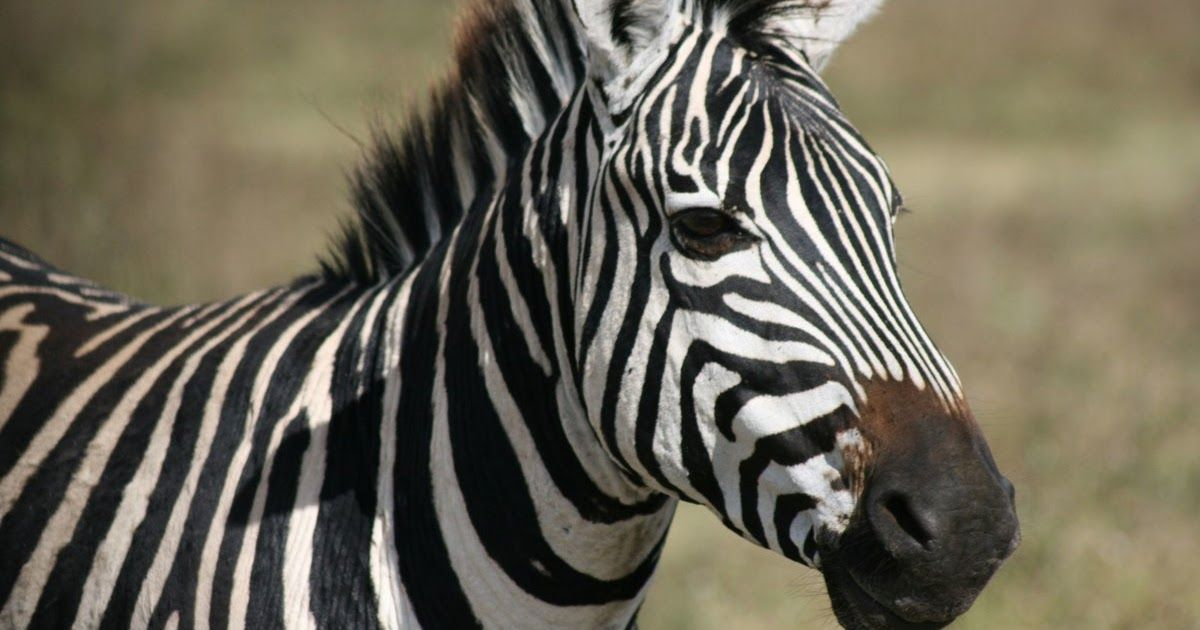 تفسير الاحلام والرؤى التأويلات الشافية لرؤية الحمار الوحشي في المنام التأويلات الشافية لرؤية الحمار الوحشي في المنام 1 تفسير حلم الحمار الوحشي In 2020 Zebra Animals