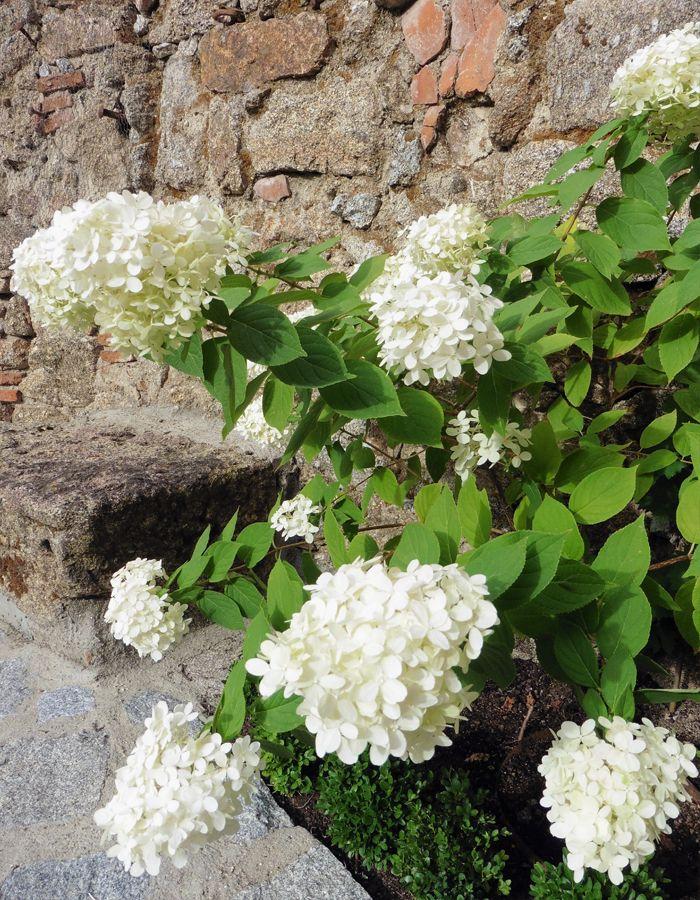 Hydrangea paniculata, ¿una hortensia a pleno sol? Si otros tipos de hortensia no aguantan una exposición soleada continua, esta hortensia arbustiva lo consigue. En un lugar fresco pero soleado, con buena ventilación y protegido del ardiente sol de la tarde, la paniculata es una buena opción.