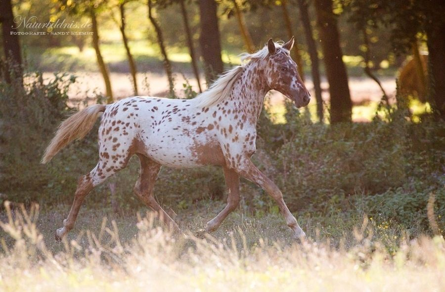 Sb Silver N Spotted Sameh Horses Yearling Breeds
