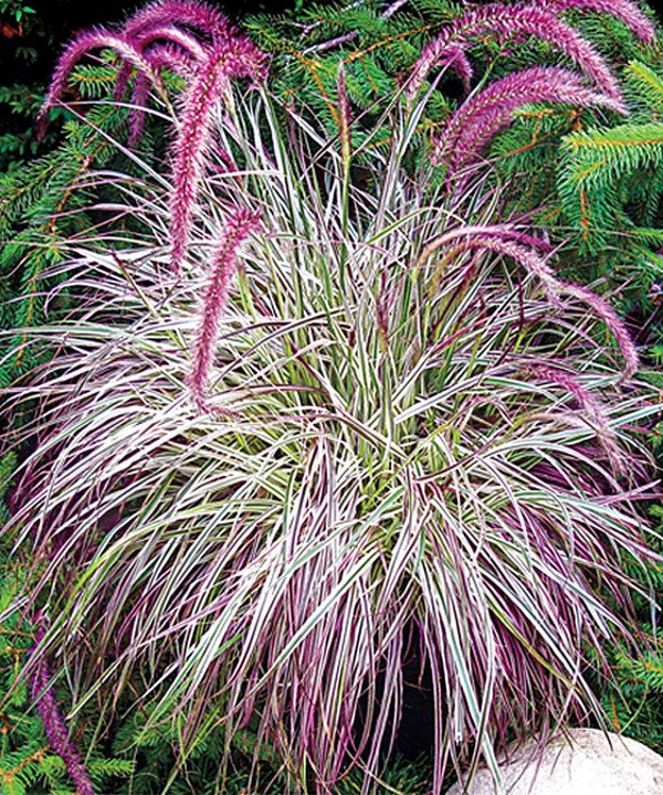 Look at this live cherry sparkler fountain grass on for Grass looking bushes
