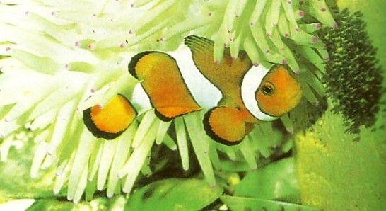 Ikan Badut Dan Anemon Laut Adalah Simbiosis