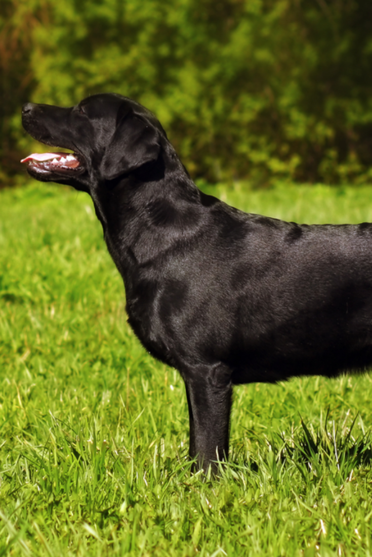 Beautiful Black Labrador Standing On The Grass In Full Growth Labradorretriever Labrador Retriever Golden Retriever Labrador Labrador