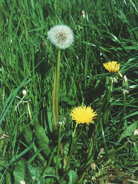 Twelve common weeds plants pinterest garden weed and lawn producing single bright yellow flowerheads that turn into balls of white fluffy seedheads this perennial weed has shiny elongated toothed rosettes of mightylinksfo